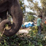 New Delhi: India: 2014  An elephant eats the foliage collected earlier in the day. Keeping an elephant sufficiently fed and watered is the main task each day for a Mahout