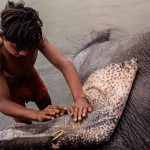 New Delhi: India: 2014  A young Mahout uses an abrasive stone to scrub the elephants tough skin.