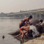 New Delhi: India: 2014  One of the elephants by the ITO Bridge lies in the shallows of Yamuna River. She is enjoying being scrubbed down and cleaned by her Mahouts.