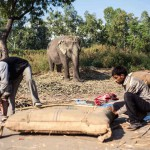 New Delhi: India: 2014  Two mahouts stuff a cushion used as a seat on the back of the elephant. It is stuffed with reeds gathered by the banks of the Yamuna.