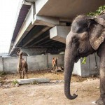 New Delhi: India: 2014  As less and less elephants have been allowed into Delhi, Mahouts have had to diversify to animals such as camels and horses which are not as strictly regulated.